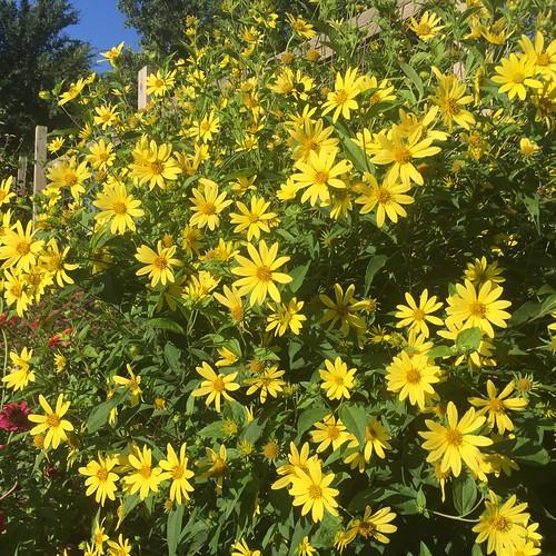 Helianthus giganteus 'Shelia's Sunshine' BGO.JPG 2