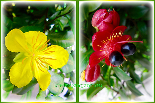Collage of Ochna serrulata or Mickey Mouse Plant, 13 July 2016