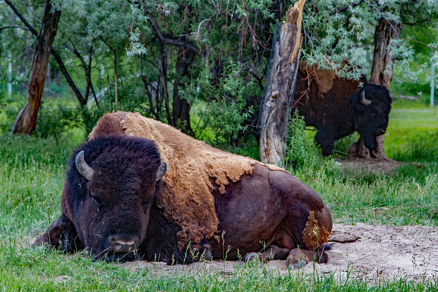 bison YBW
