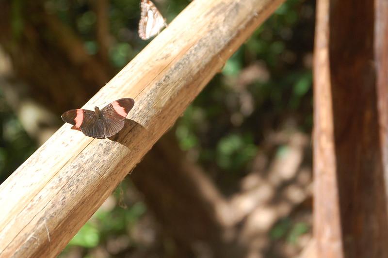 Butterfly near San Ramón, Chanchamayo, Junín, Peru
