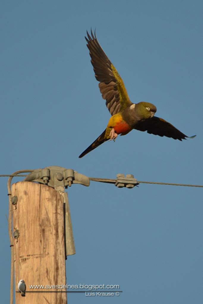 Loro barranquero (Burrowing Parakeet) Cyanoliseus patagonus