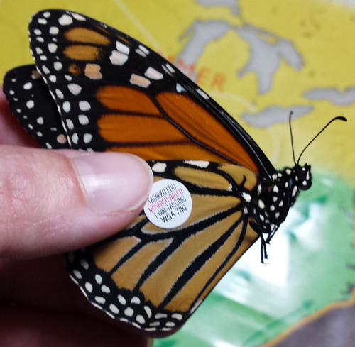 fingers holding a monarch's wings closed, with a small sticker tag on the lower wing