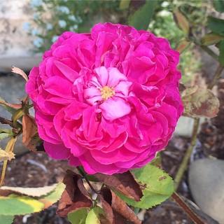 #lareine #rose