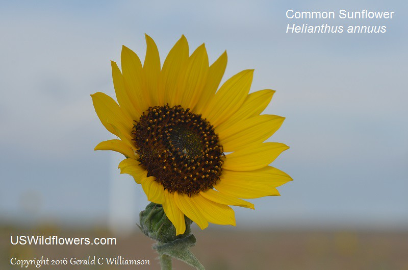 Common Sunflower, Kansas Sunflower, Mirasol - Helianthus annuus