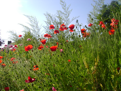 Red Poppies tall in the sun | by strawberryindigo