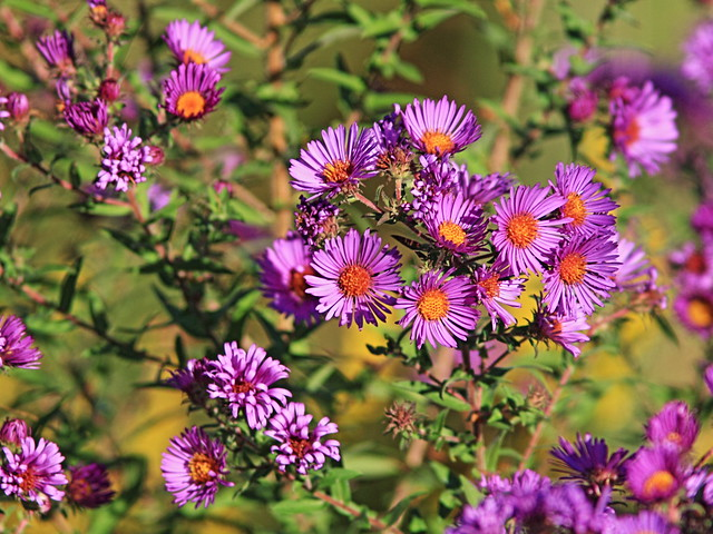 New England Aster 20160926
