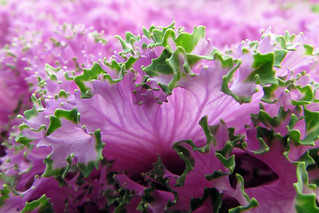 Ornamental Cabbage | by njchow82