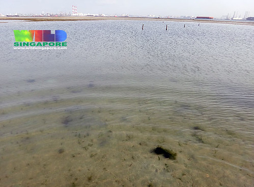 Seagrasses gone from deep pool at Cyrene Reef