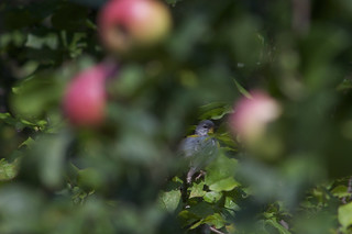 Canada Warbler & Apples | by 9brandon