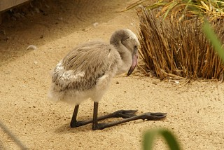 Backwards leg baby flamingo | by kevsunblush