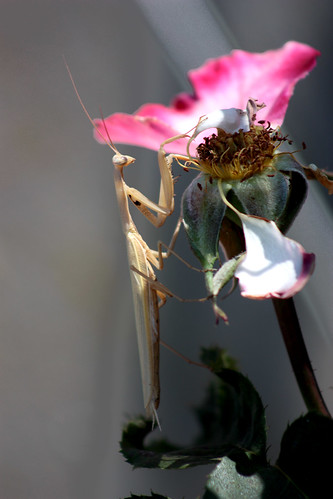 Mantis and Ex-rose | by Fletcher Gravy