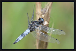 Scarce Chaser (m) | by Full Moon Images