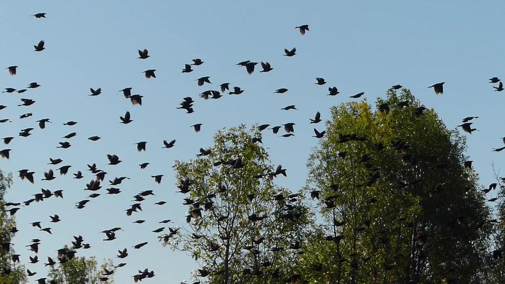 Vidéo: Millier d'oiseaux noirs