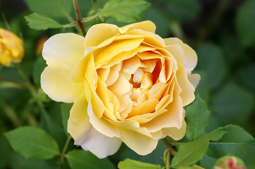 Lovely Yellow Rose | by Ben Unleashed!