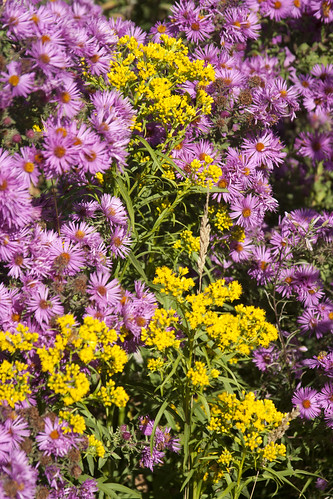Aster & Solidago | by Scott Weber PDX
