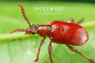 Leaf beetle (Chrysomelidae) - DSC_7816