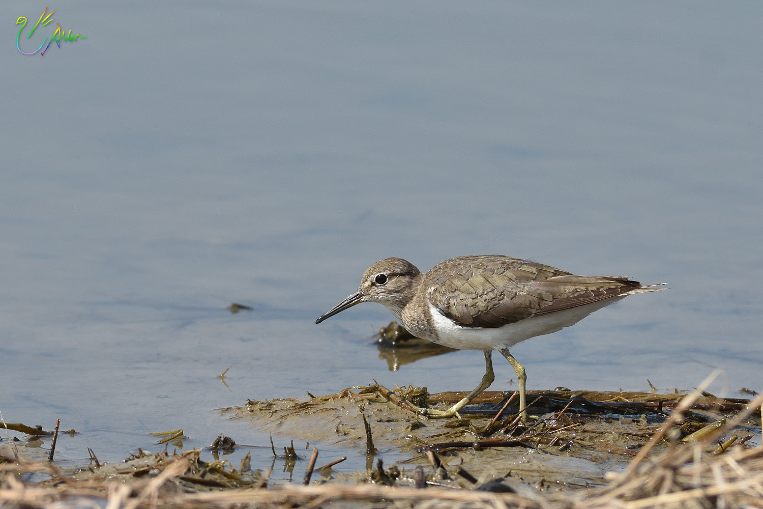 Common_Sandpiper_8752