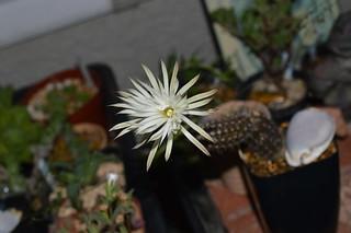 DSC_3812 Setiechinopsis mirabilis セティエキノプシス 奇想丸