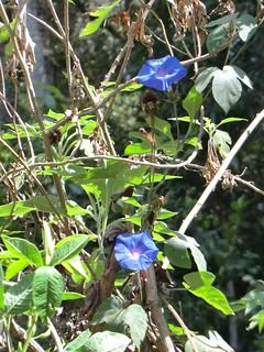 pflanzen und tiere viele blaue bl ten mlalo usambara. Black Bedroom Furniture Sets. Home Design Ideas