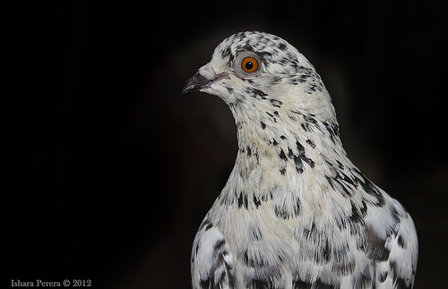 Black' & 'White Pigeon | by Ishara Perera