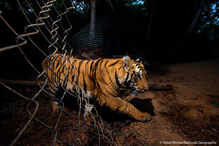 A young tiger slips through a fence in Bandhavgarh National Park - India | by Panthera Cats