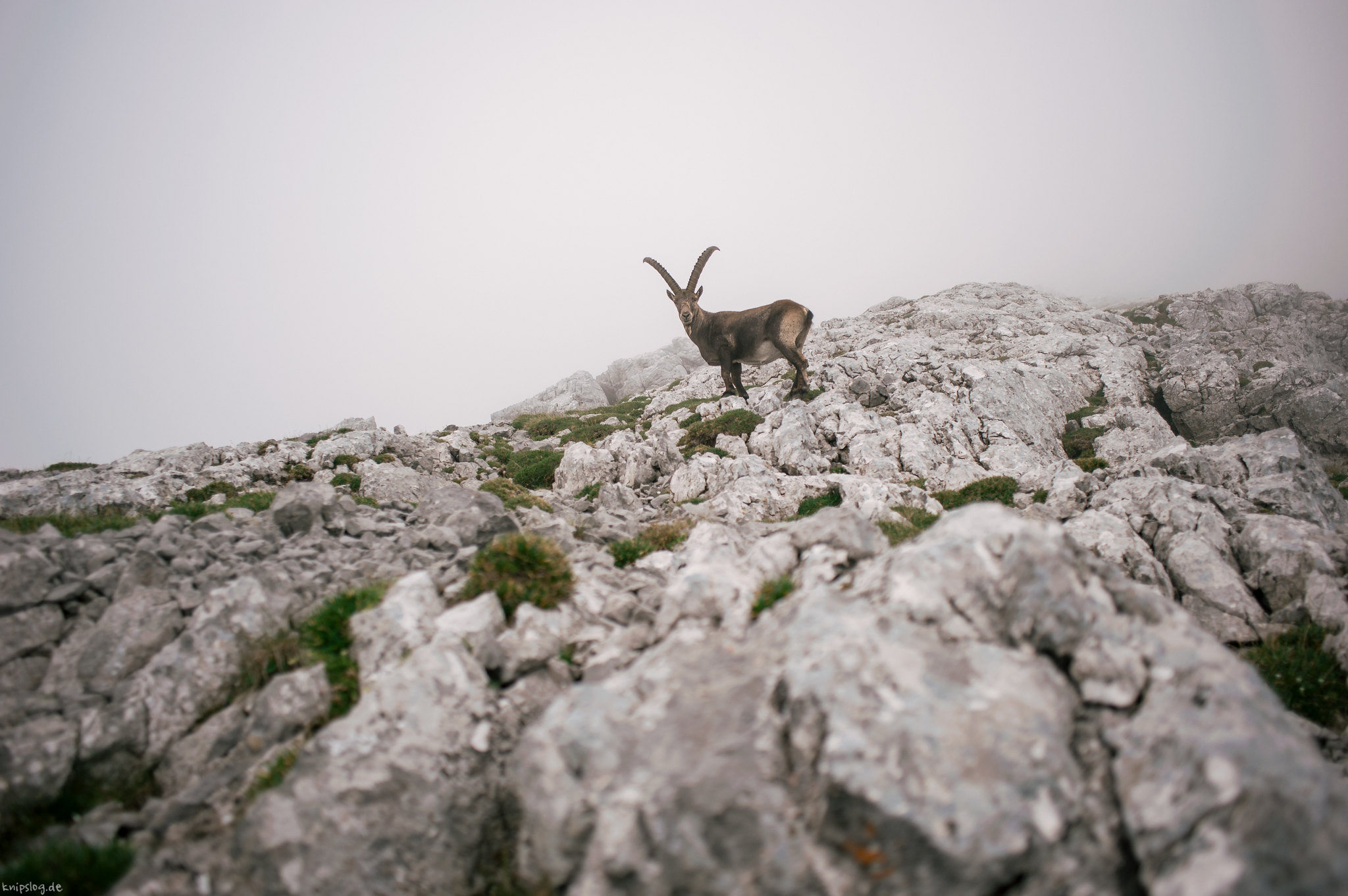 Waiting Ibex