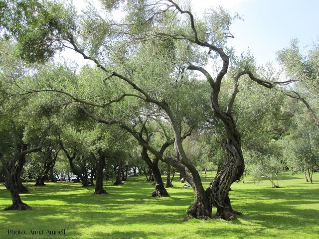 Olive trees in Lokrum