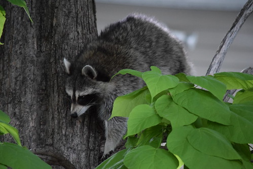 Our neighbor the Raccoon