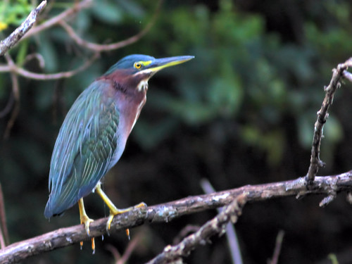 Green Heron HDR 20160916