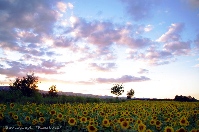 夕暮れのヒマワリ畑