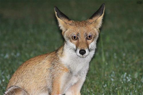 Raposa-vermelha (Vulpes vulpes)