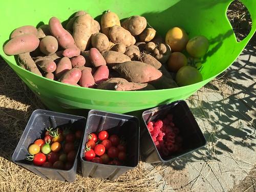 harvest 8-29 IMG_7568