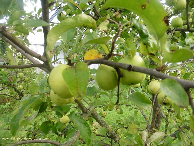 Apfel Golden Delicius August2016
