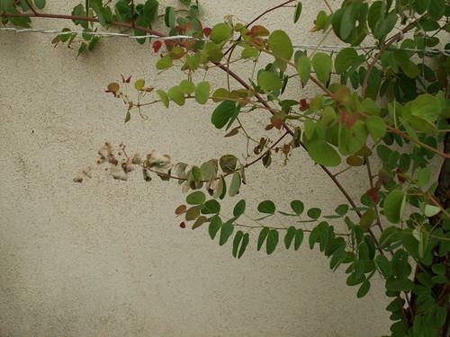 Bauhinia yunanensis