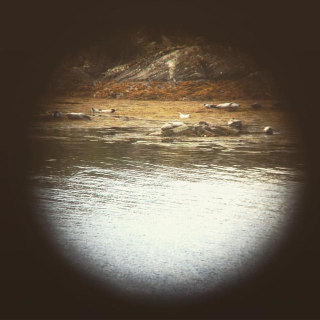 Common Seals at Garbh Eilean Wildlife Hide, Loch Sunart, Scottish Highlands (Shot on an iPhone through a telescope, hence the wobbles!) #scotland #lochsunart #scottishhighlands #scottishscenery #garbheilean #sealoch #commonseals #scottishwildlife