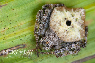 Orb Weaver Spider (Eriovixia sp.) - DSC_3168