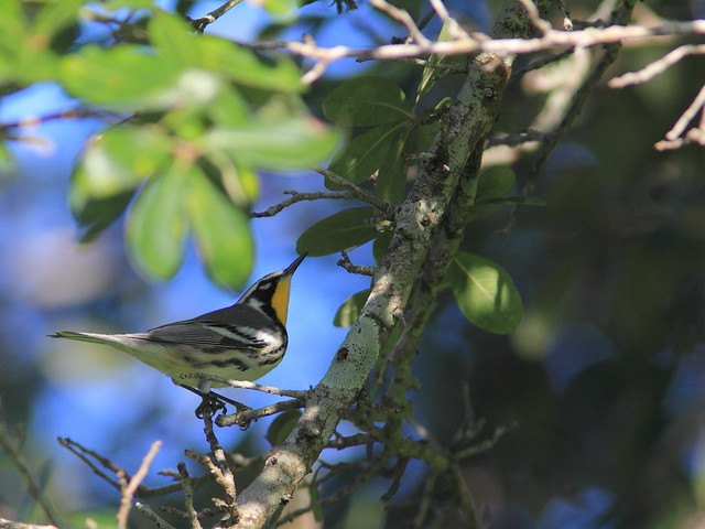 Yellow-throated Warbler 8-20160820