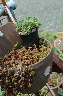 DSC_3663 Euphorbia 'KAIMAGYOKU'  ユーフォルビア 怪魔玉
