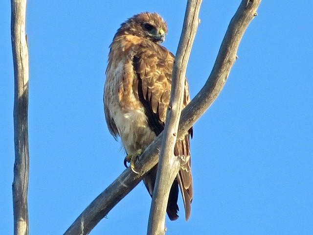 hawk in bluffs park