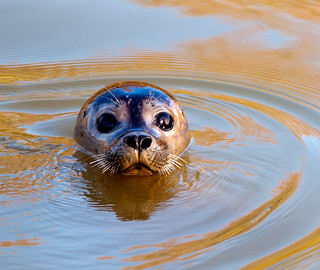 Sammy the Seal visits Peterborough. | by uplandswolf