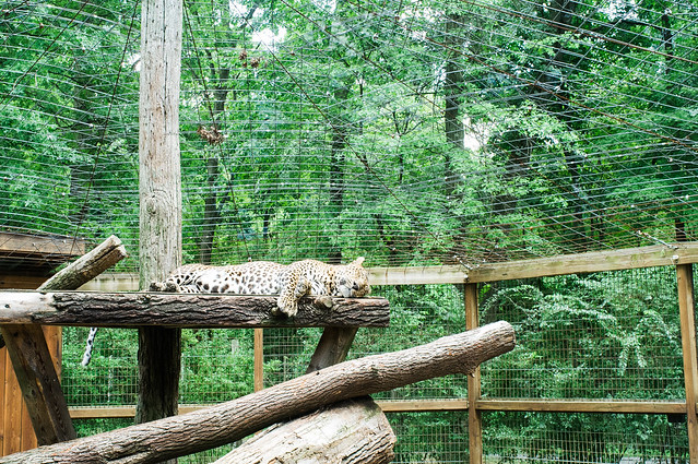 So sleepy leopard.