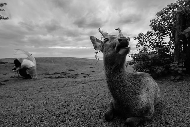 Nara deer 2