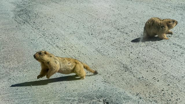 Golden Marmots on Chang La road, a bit north of Zingral