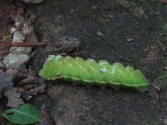 Larva de Aglia tau