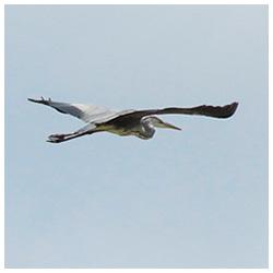 Grey-heron-2