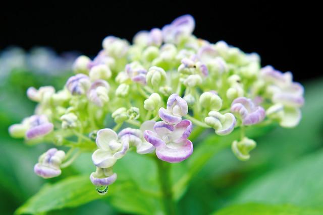 """Japanese Hydrangea """"Uzuajisai"""" : 渦紫陽花(ウズアジサイ)"""