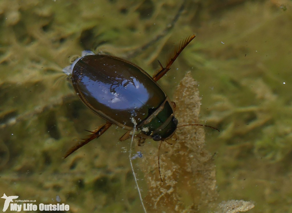 P1040924 - Great Diving Beetle, Pembrey