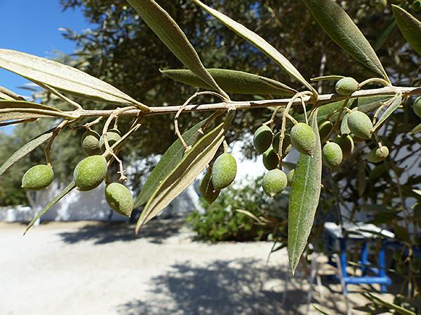 les oliviers de chez Tito