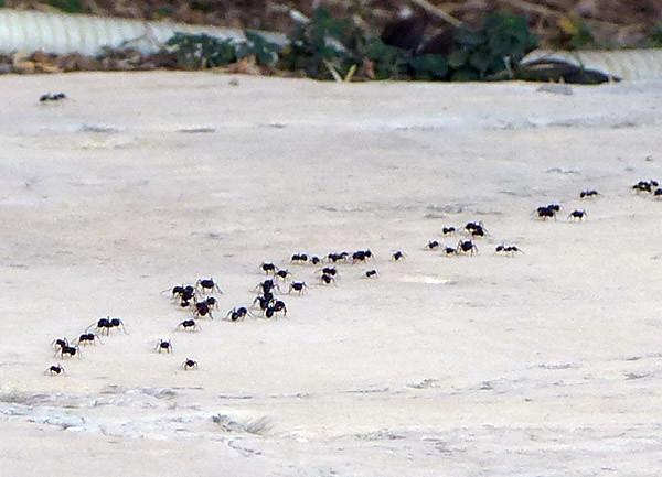l'armée … des fourmis