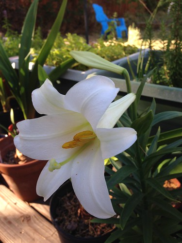 Easter lily re-blooming in September.